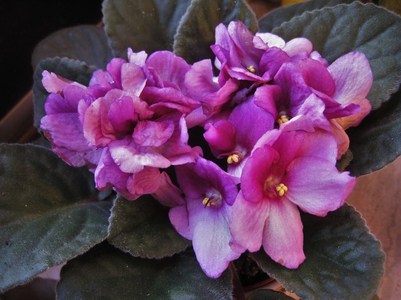 Signs from spirit african violet