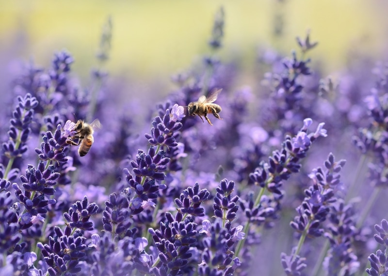 Signs from spirit lavender