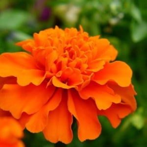 signs from spirit marigold