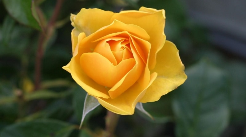 signs from spirit yellow rose
