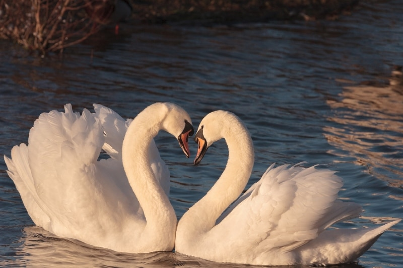 Twin flame relationship swans