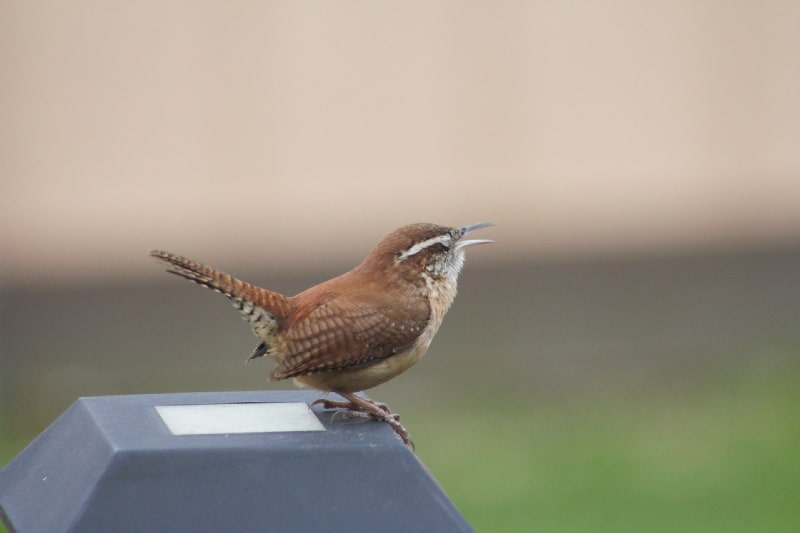 birds signs omens and messages wren